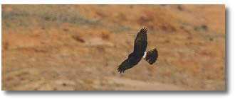 Marsh Hawk soaring Malibu, Ballona, Carrizo Plain and Bolsa Chica coastal